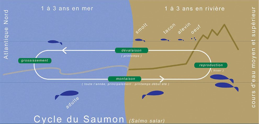 Cycle du Saumon
