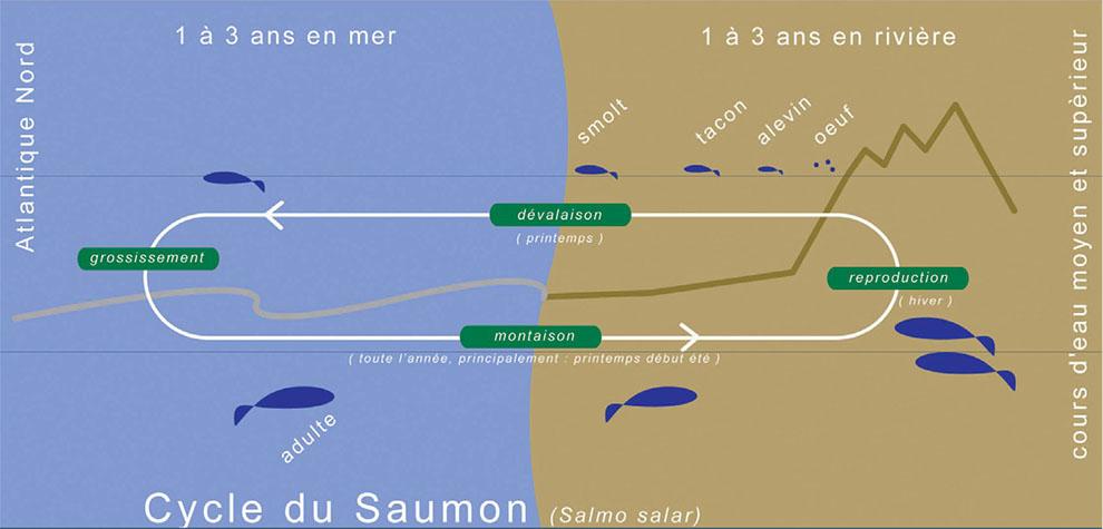 Cycle du Saumon